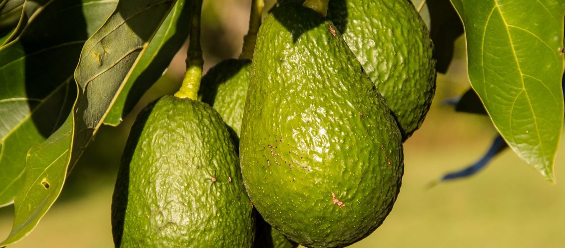 hass-avocado-945418_1920